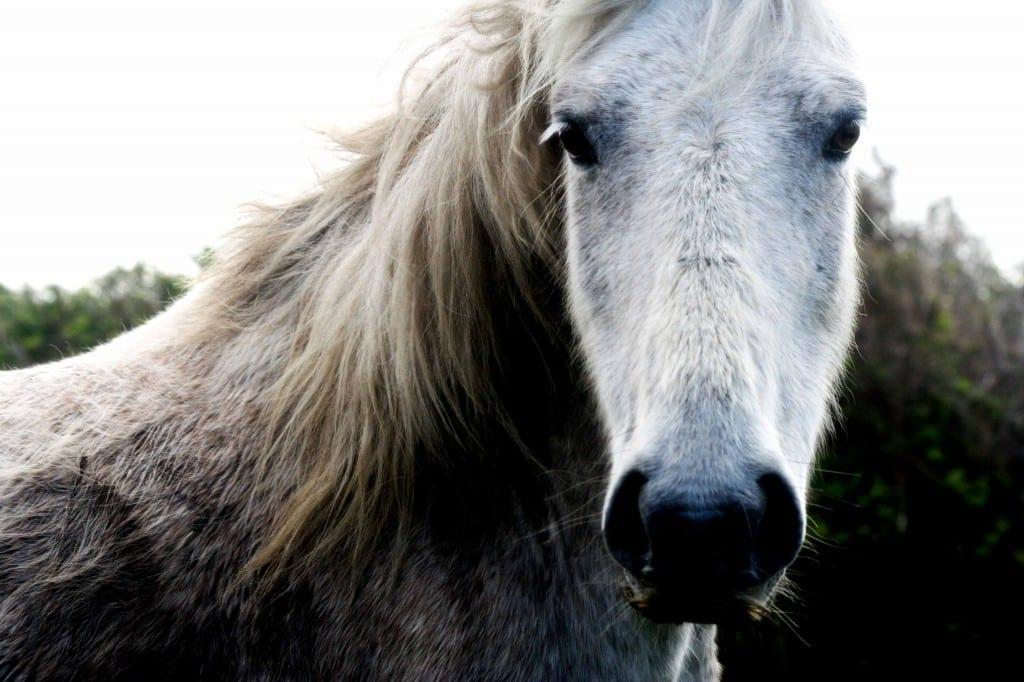 connemara pony web